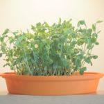 一度使った豆苗は、捨てずに再生栽培。